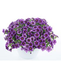 Calibrachoa Colibri Purple Lace