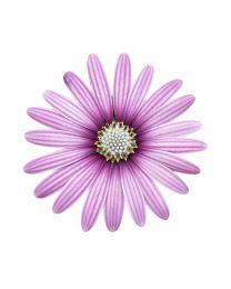 Osteospermum Cape Daisy Eye Catcher Purple