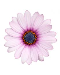 Osteospermum Cape Daisy  Purple  Ilumination