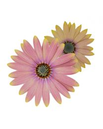 Osteospermum Cape Daisy Spring Bouquet