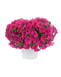 Petunia CAPELLA Neon Pink