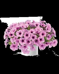Petunia CAPELLA Pink Lace