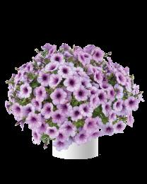 Petunia CAPELLA Purple