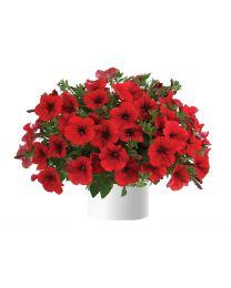 Petunia Cascadias Red