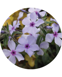 Phlox Divaricata Chattahoochee