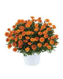 Calendula Cheers Tangerine