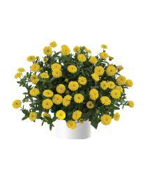 Calendula Cheers Yellow