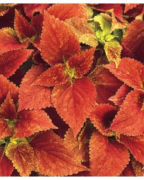 Coleus Texas Parking Lot