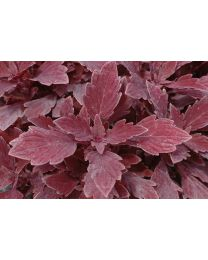 Coleus Velvet Lace/Royale Cherry Brandy