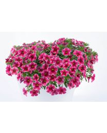 Calibrachoa Colibri Cherry Lace