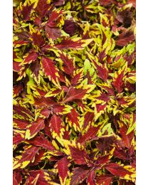 Coleus Royale Apple Brandy™