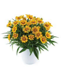 Coreopsis Solanna Bright Touch