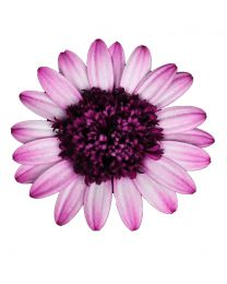 Osteospermum Cape Daisy Double Delight