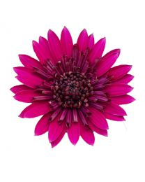 Osteospermum Cape Daisy Double Purple