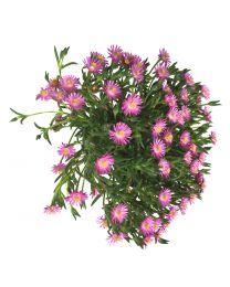 Delosperma Royal Ranger Pink
