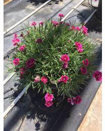 Dianthus Divine Basket Bicolor Purple