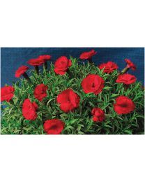 Dianthus Divine Dark Red
