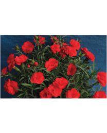Dianthus Divine Red Blossom