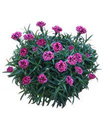Dianthus Pinocchio Magenta / Pink Burgundy