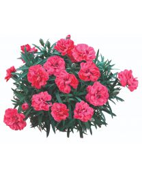 Dianthus Pinocchio Rosa