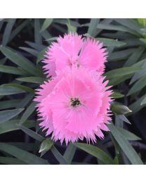 Dianthus Dinamic Fringed Pink