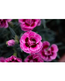 Dianthus Dinamic Pink Eye