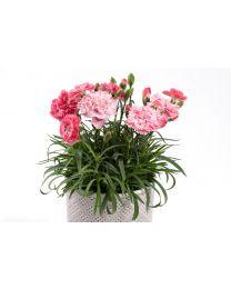 Dianthus Dinamic Peachy Pink