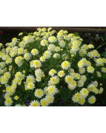 Argyranthemum Pacific Gold