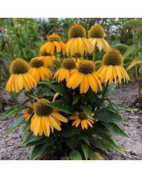 Echinacea Lemontiny
