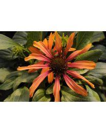 Echinacea Cornetto Orange