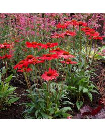 Echinacea Kismet Red