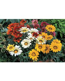 Gazania s.Kiss Frosty Kiss Mix 264 szt