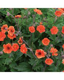 Geum Rustico Orange