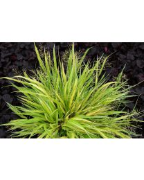 Hakonechloa Stripe it Rich