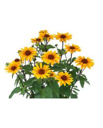 Heliopsis Punto Rosso Compact