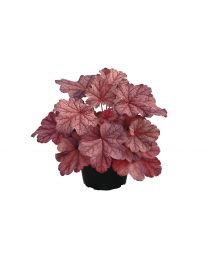 Heuchera Beautiful Dancer