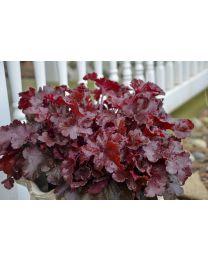 Heuchera Dolce Cherry Truffles