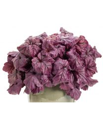 Heuchera Dolce Wildberry