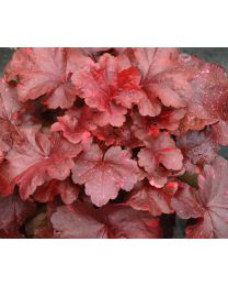 Heuchera Galaxy