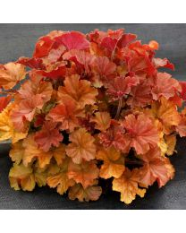 Heuchera HEUCHERA NORTHERN EXPOSURE AMBER