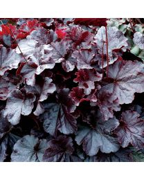 Heuchera HEUCHERA NORTHERN EXPOSURE BLACK