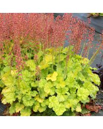 Heuchera HEUCHERA NORTHERN EXPOSURE LIME