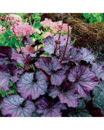 Heuchera HEUCHERA NORTHERN EXPOSURE PURPLE