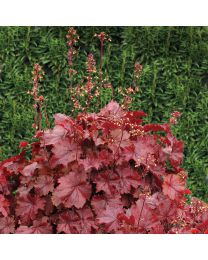 Heuchera HEUCHERA NORTHERN EXPOSURE RED