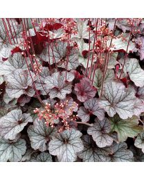 Heuchera HEUCHERA NORTHERN EXPOSURE SILVER