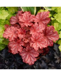 Heuchera Primo Peach Ice