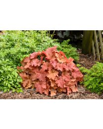 Heuchera Primo Peachberry Ice