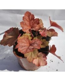 Heuchera Sweet Princess