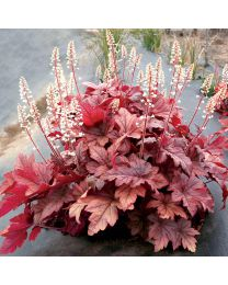 Heucherella Peach Tea
