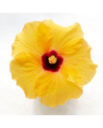 Hibiscia ADONICUS YELLOW